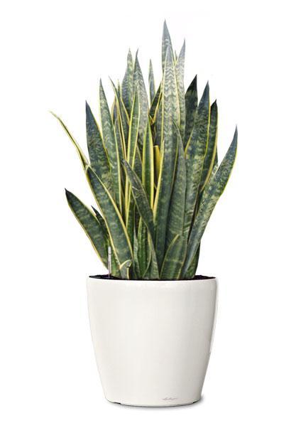 laurentii-snake-plant-